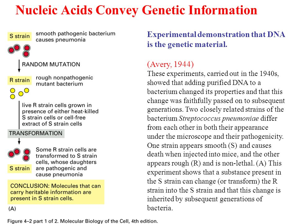 Nucleic Acids Convey Genetic Information