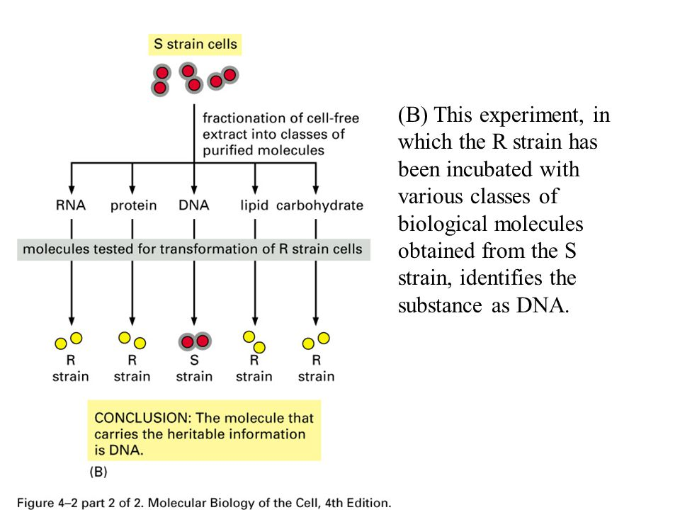 (B) This experiment, in which the R strain has been incubated with various classes of biological molecules obtained from the S strain, identifies the substance as DNA.