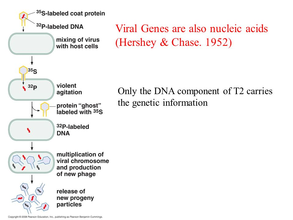 Viral Genes are also nucleic acids (Hershey & Chase. 1952)