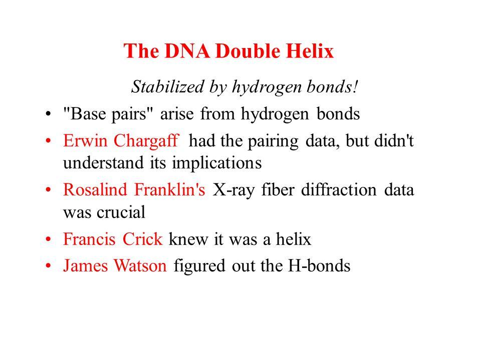 Stabilized by hydrogen bonds!