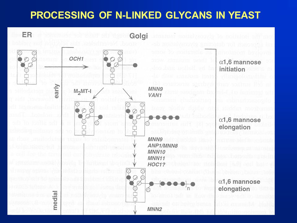 PROCESSING OF N-LINKED GLYCANS IN YEAST
