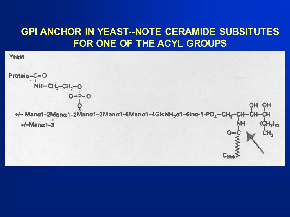 GPI ANCHOR IN YEAST--NOTE CERAMIDE SUBSITUTES