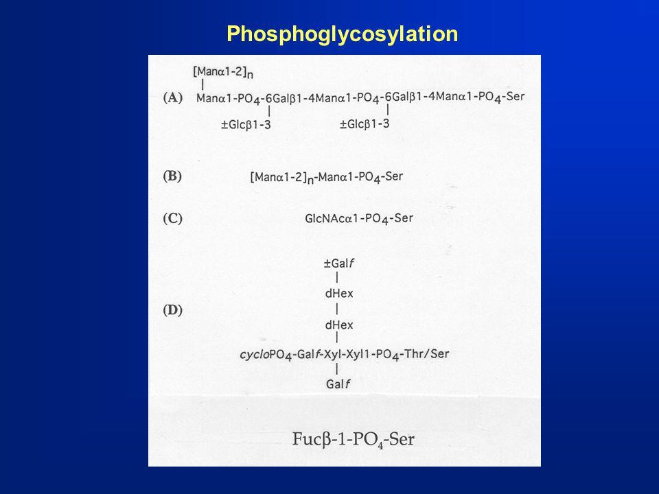 Phosphoglycosylation