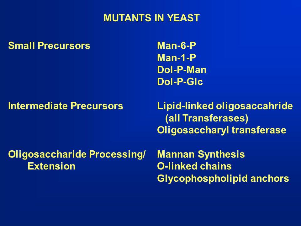 MUTANTS IN YEAST Small Precursors Man-6-P. Man-1-P. Dol-P-Man. Dol-P-Glc. Intermediate Precursors Lipid-linked oligosaccahride.