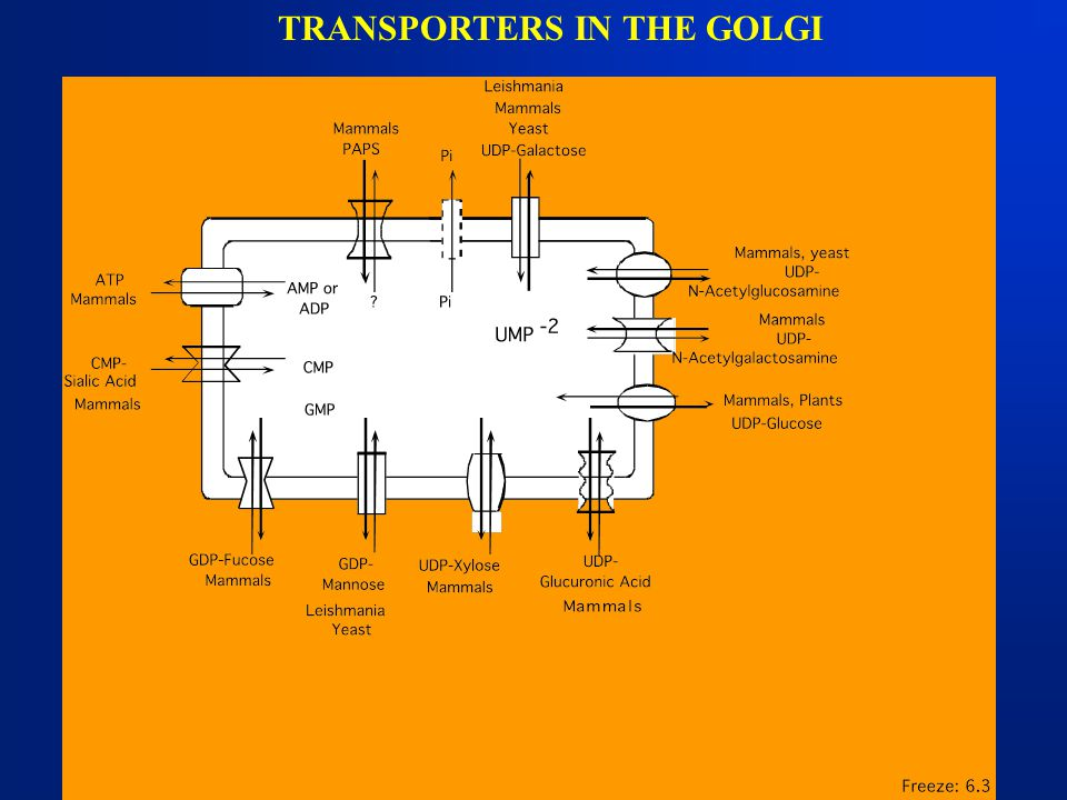 TRANSPORTERS IN THE GOLGI