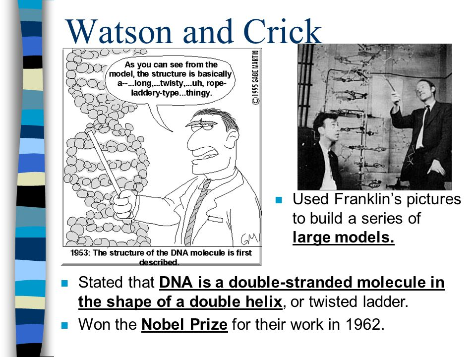 Watson and Crick Used Franklin's pictures to build a series of large models.