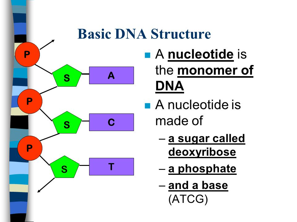 Basic DNA Structure A nucleotide is the monomer of DNA