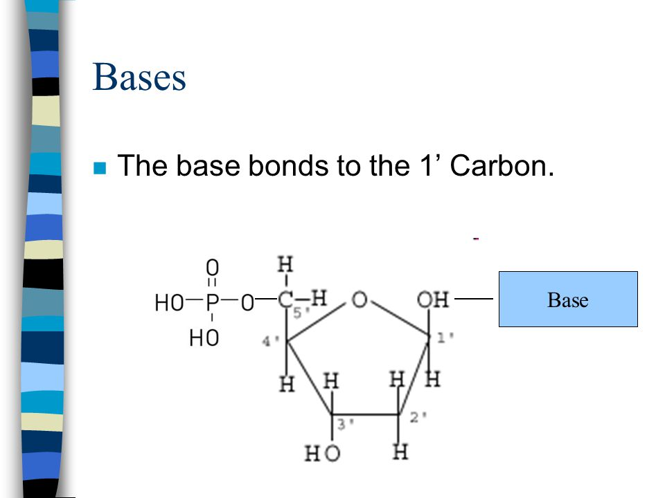 Bases The base bonds to the 1' Carbon. Base