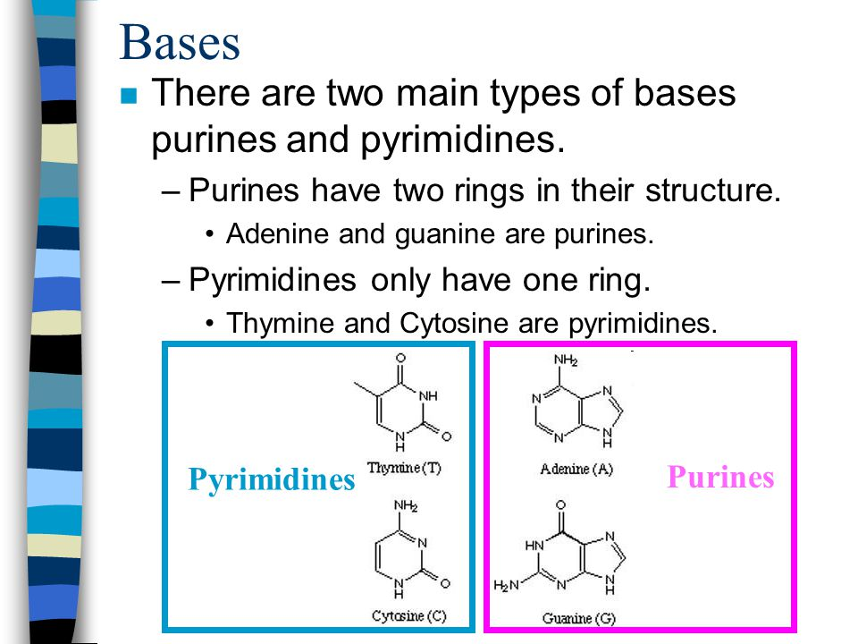 Bases There are two main types of bases purines and pyrimidines.