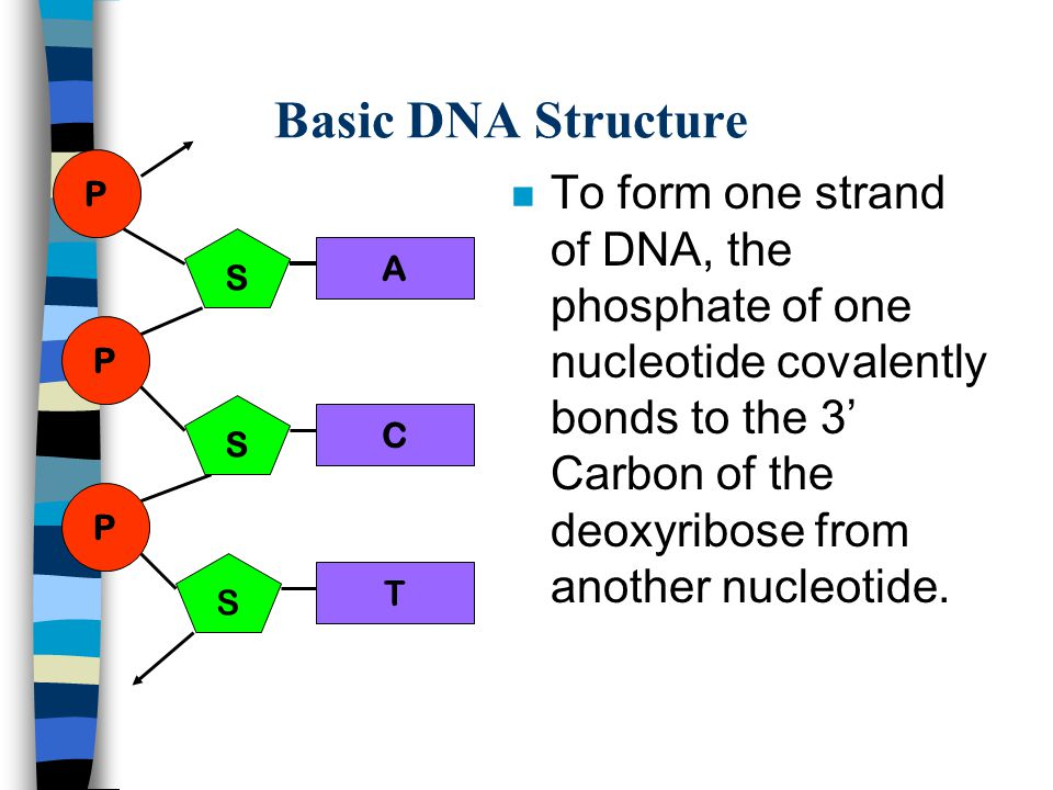 Basic DNA Structure P.