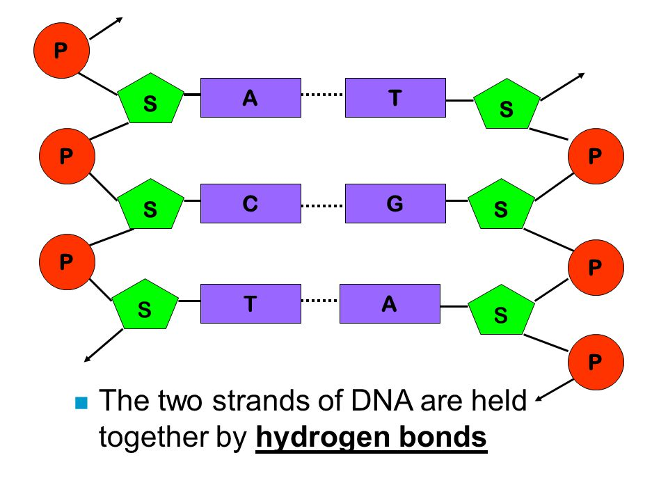 The two strands of DNA are held together by hydrogen bonds