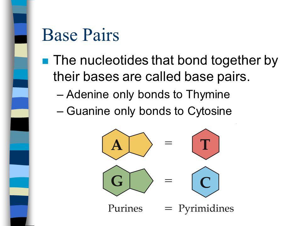 Base Pairs The nucleotides that bond together by their bases are called base pairs. Adenine only bonds to Thymine.