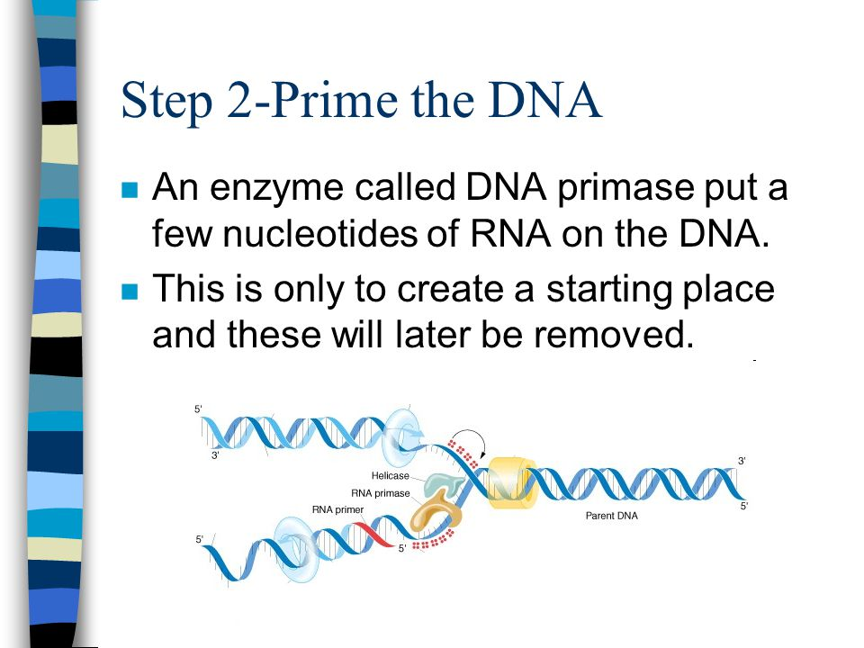Step 2-Prime the DNA An enzyme called DNA primase put a few nucleotides of RNA on the DNA.