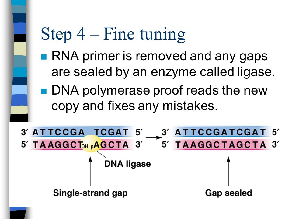 Step 4 – Fine tuning RNA primer is removed and any gaps are sealed by an enzyme called ligase.
