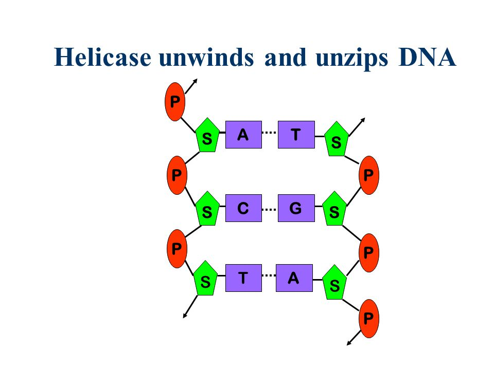 Helicase unwinds and unzips DNA