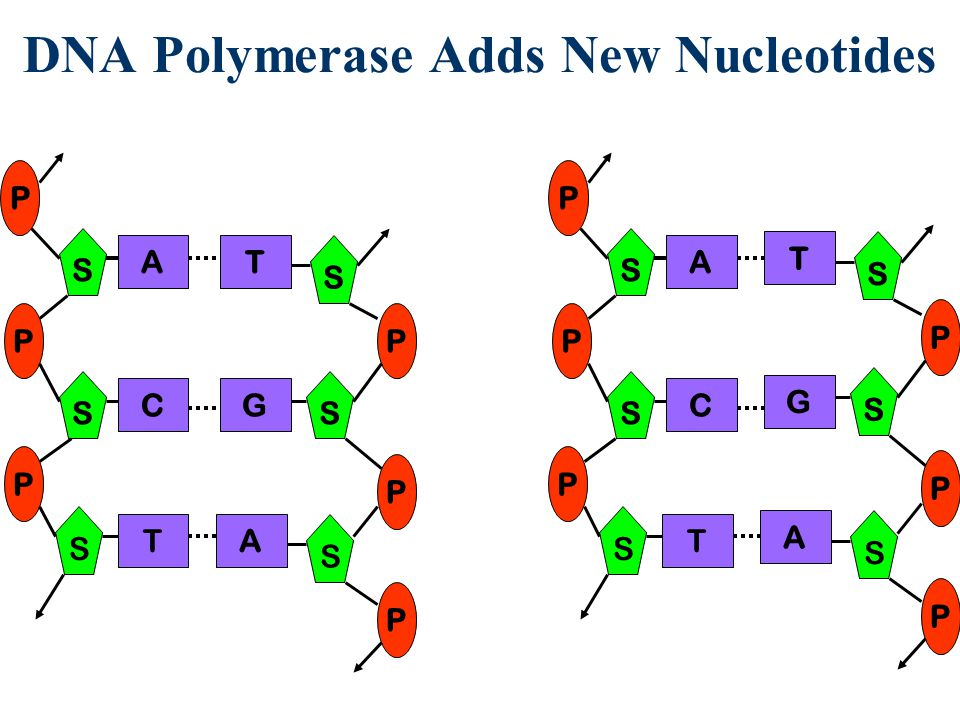 DNA Polymerase Adds New Nucleotides