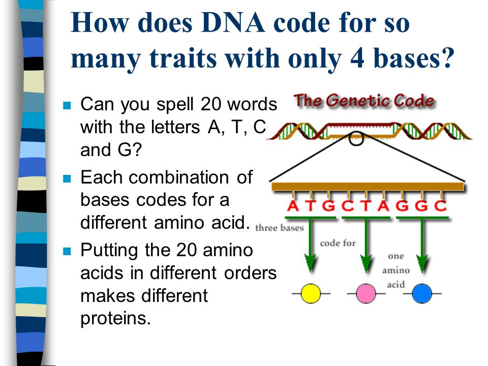 How does DNA code for so many traits with only 4 bases