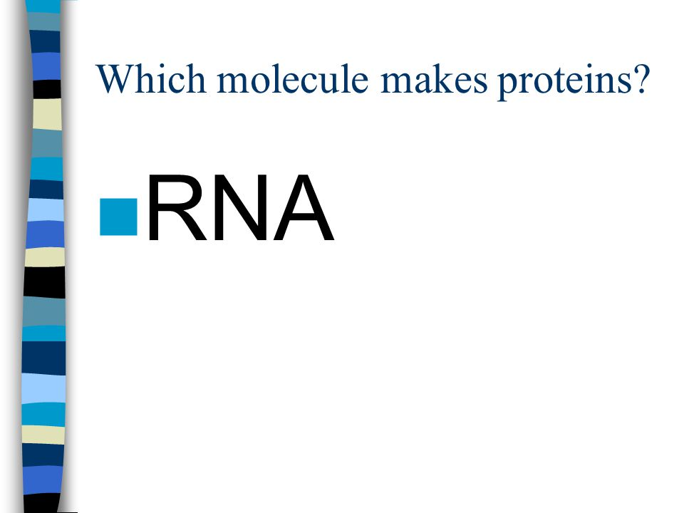 Which molecule makes proteins