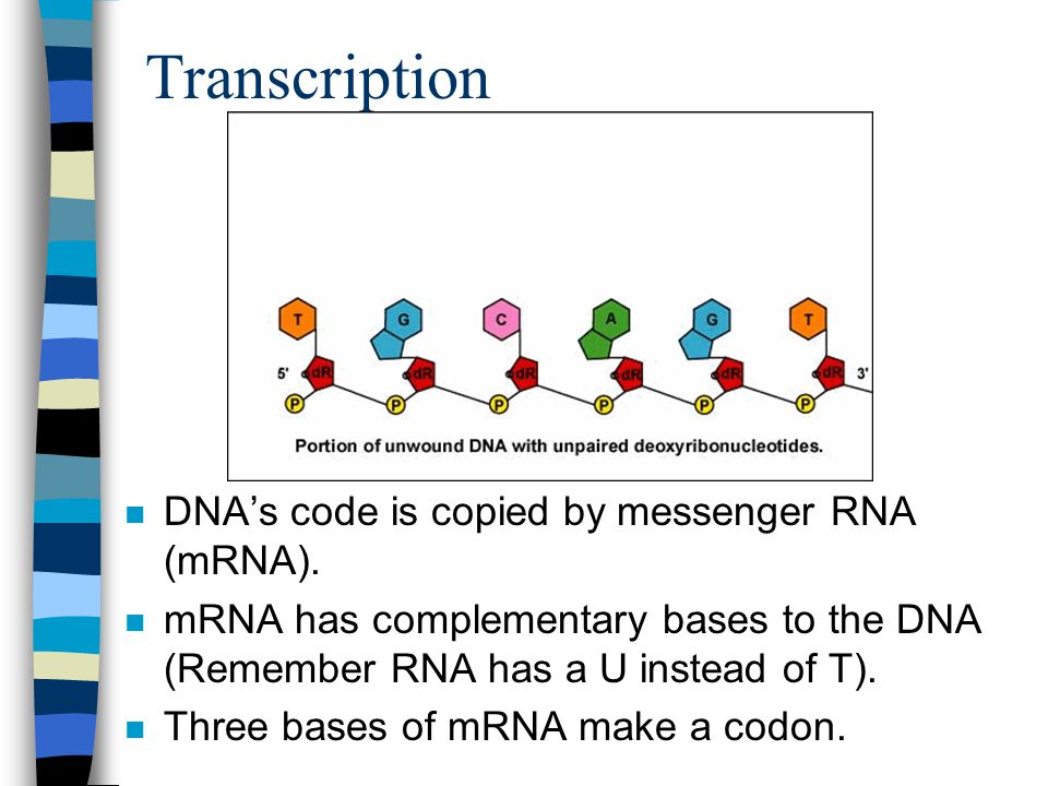 Transcription DNA's code is copied by messenger RNA (mRNA).
