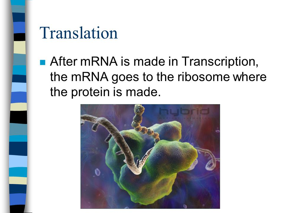 Translation After mRNA is made in Transcription, the mRNA goes to the ribosome where the protein is made.