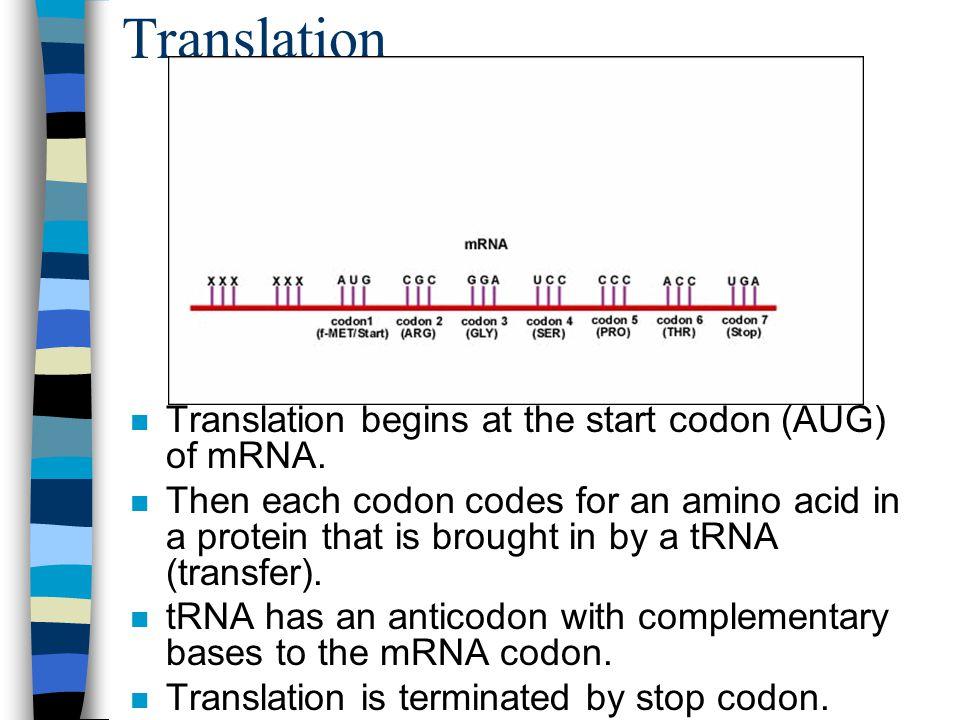 Translation Translation begins at the start codon (AUG) of mRNA.