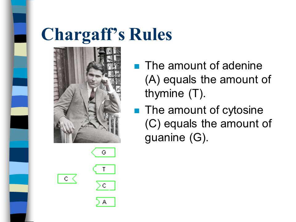 Chargaff's Rules The amount of adenine (A) equals the amount of thymine (T).