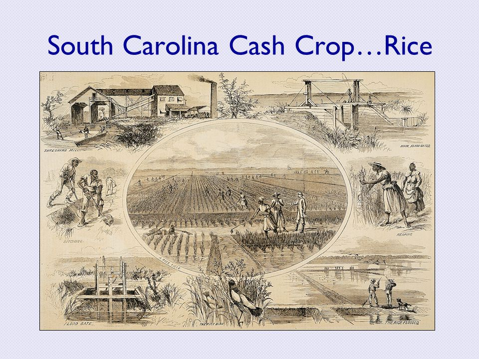 South Carolina Cash Crop…Rice