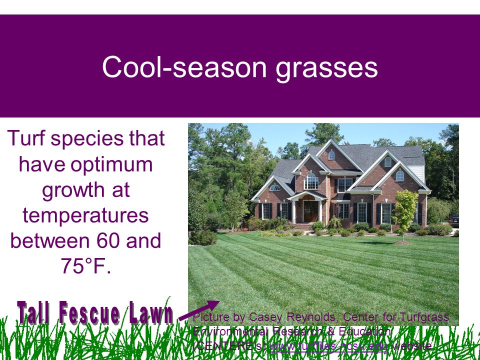 Cool-season grasses Turf species that have optimum growth at temperatures between 60 and 75°F. Tall Fescue Lawn.