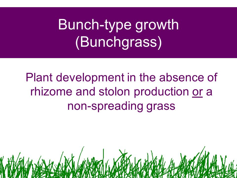 Bunch-type growth (Bunchgrass)