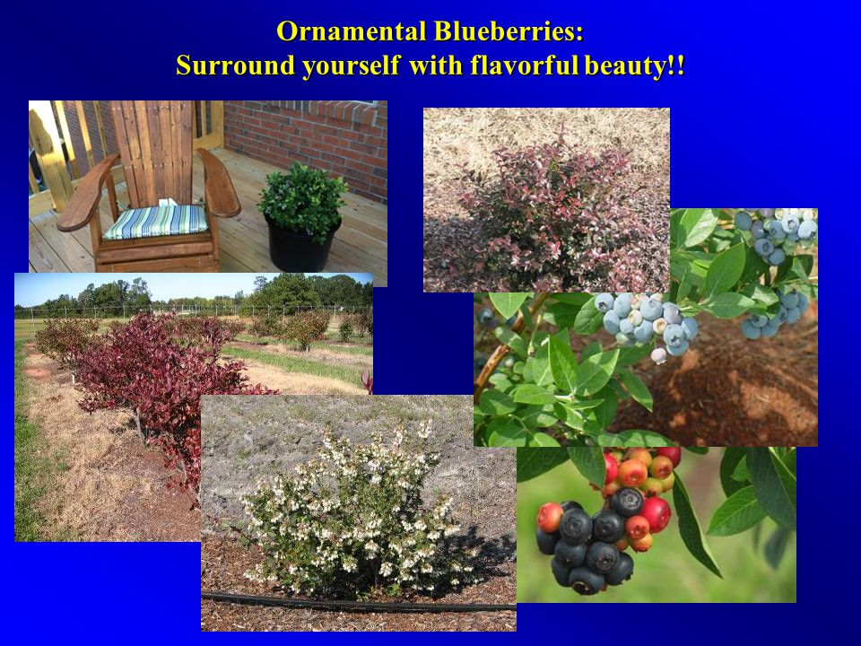 Ornamental Blueberries: Surround yourself with flavorful beauty!!
