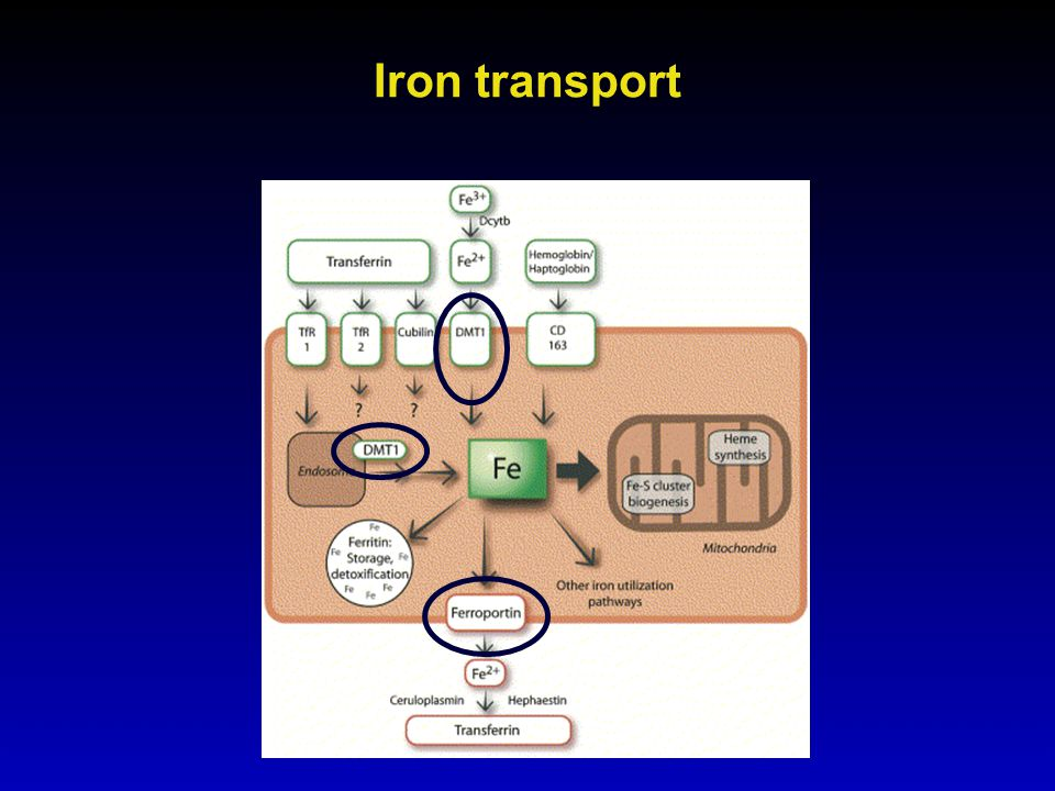 Iron transport