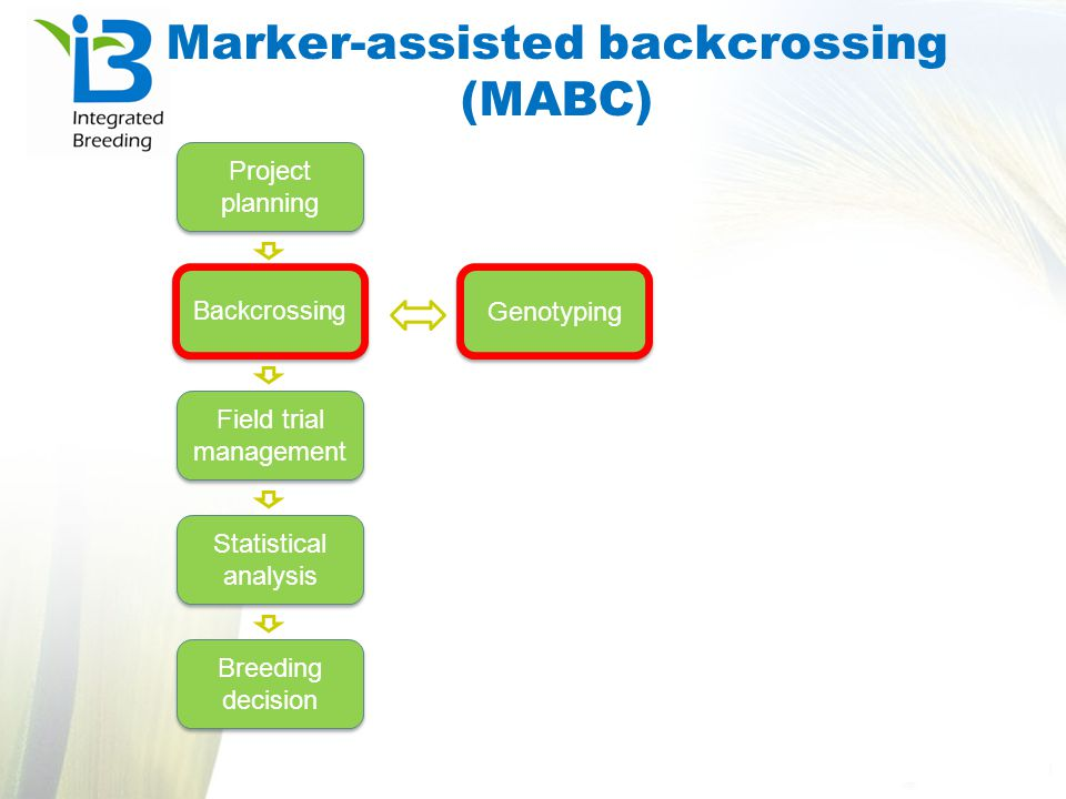 Marker-assisted backcrossing (MABC)