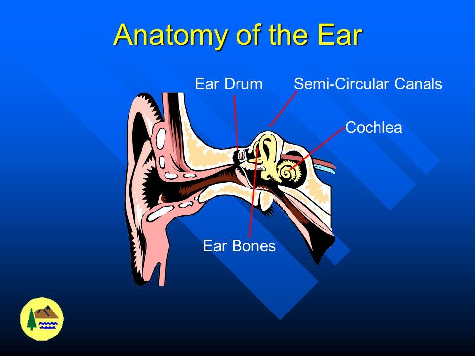 Anatomy of the Ear Ear Drum Semi-Circular Canals Cochlea Ear Bones