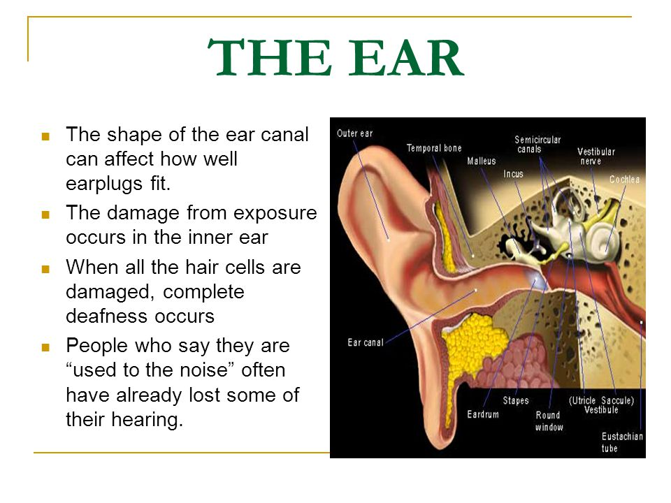 THE EAR The shape of the ear canal can affect how well earplugs fit.