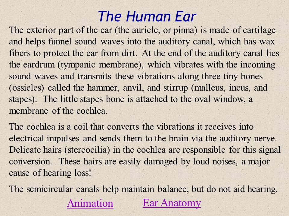 The Human Ear Animation Ear Anatomy