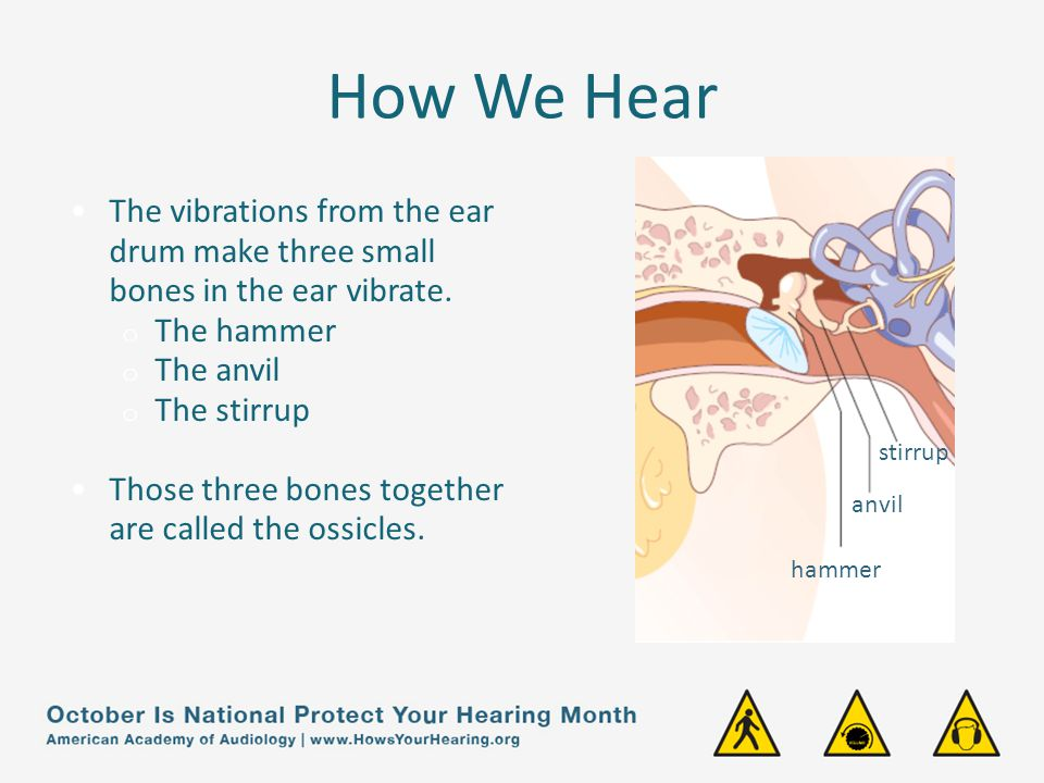 How We Hear The vibrations from the ear drum make three small bones in the ear vibrate. The hammer.