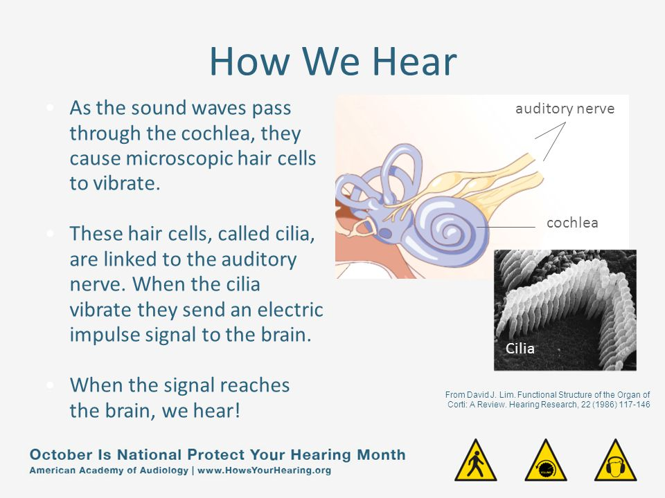 How We Hear As the sound waves pass through the cochlea, they cause microscopic hair cells to vibrate.