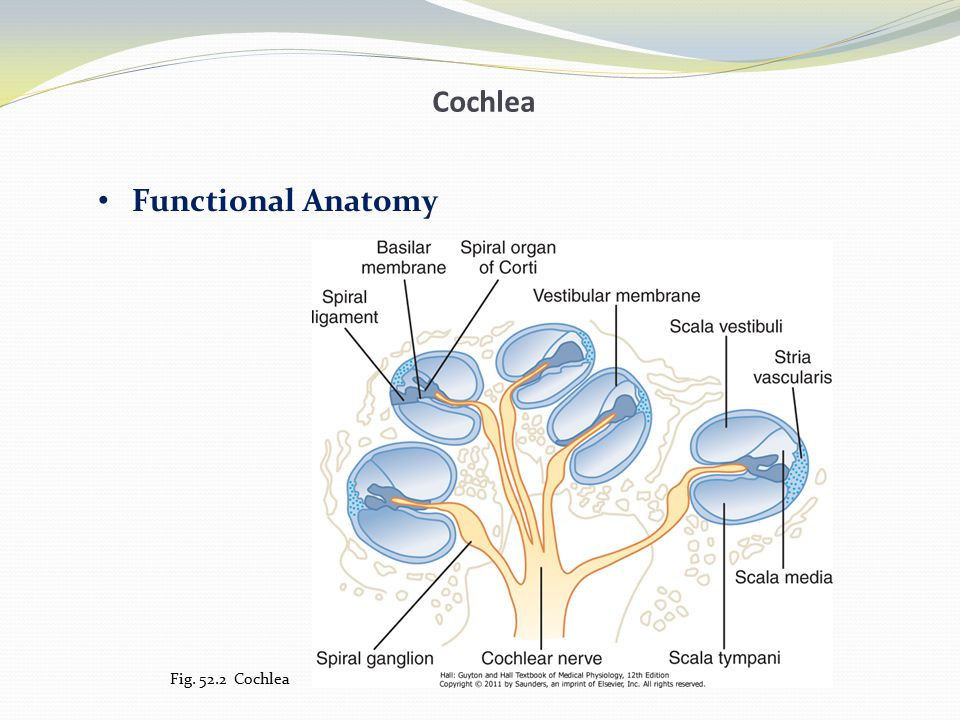 Cochlea Functional Anatomy Fig. 52.2 Cochlea
