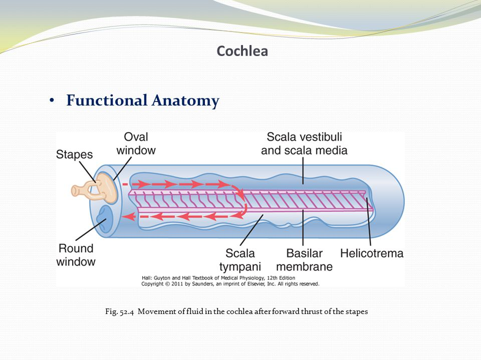 Cochlea Functional Anatomy