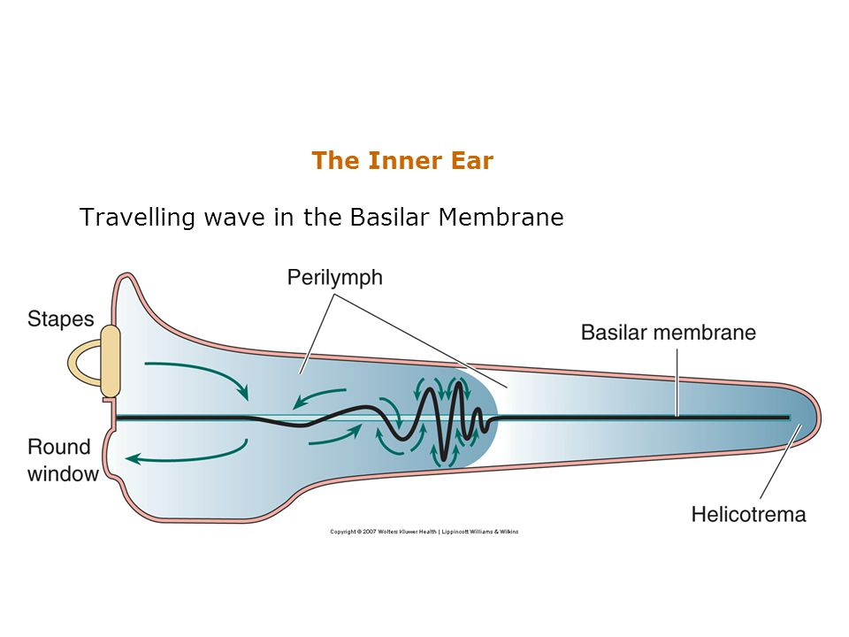 The Inner Ear Travelling wave in the Basilar Membrane