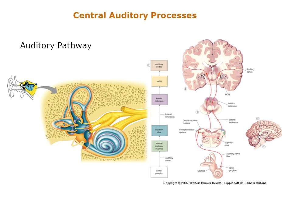 Central Auditory Processes