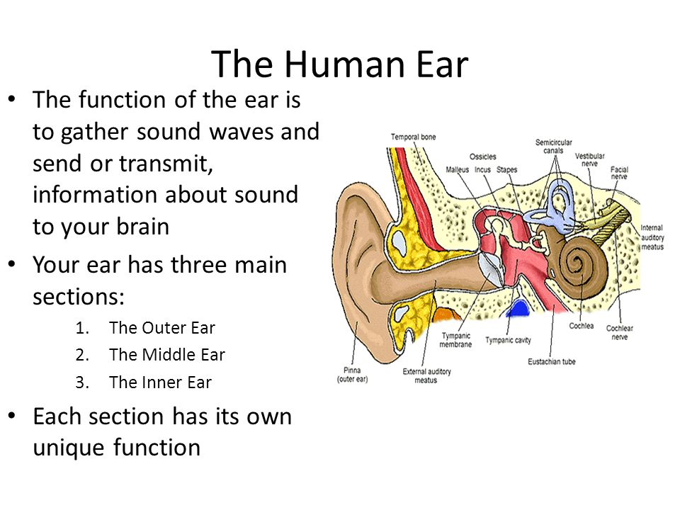 The Human Ear The function of the ear is to gather sound waves and send or transmit, information about sound to your brain.
