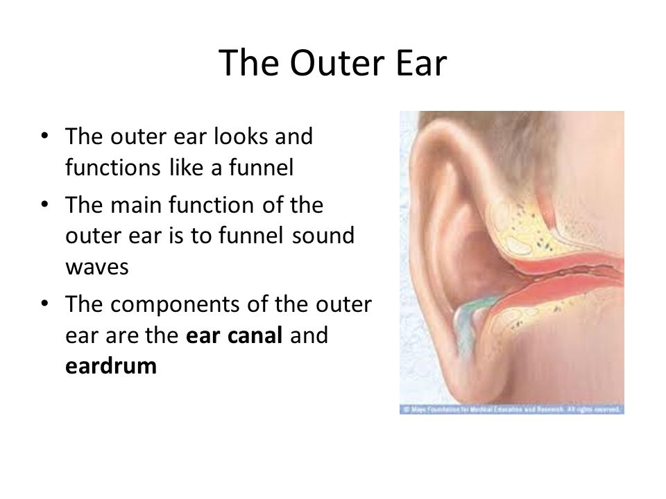 The Outer Ear The outer ear looks and functions like a funnel