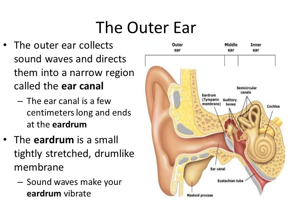 The Outer Ear The outer ear collects sound waves and directs them into a narrow region called the ear canal.