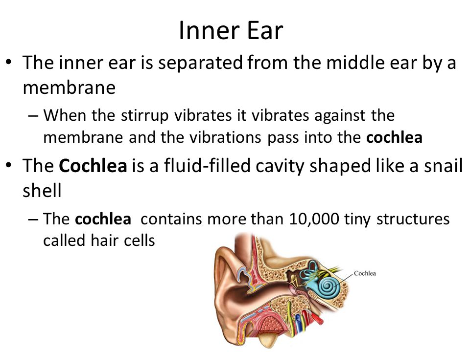 Inner Ear The inner ear is separated from the middle ear by a membrane