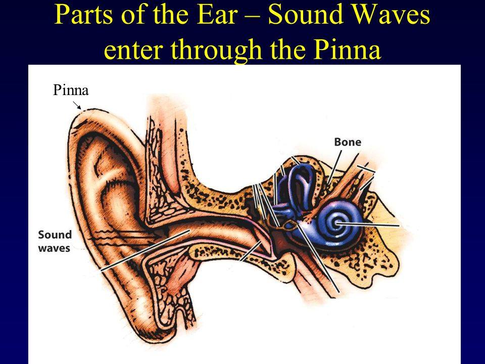 Parts of the Ear – Sound Waves enter through the Pinna