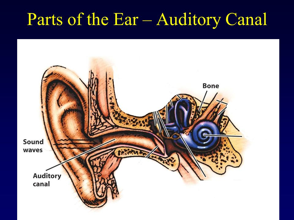 Parts of the Ear – Auditory Canal