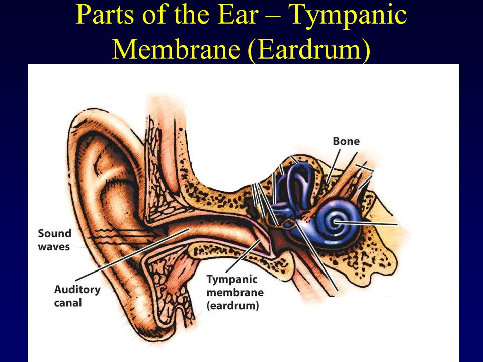Parts of the Ear – Tympanic Membrane (Eardrum)