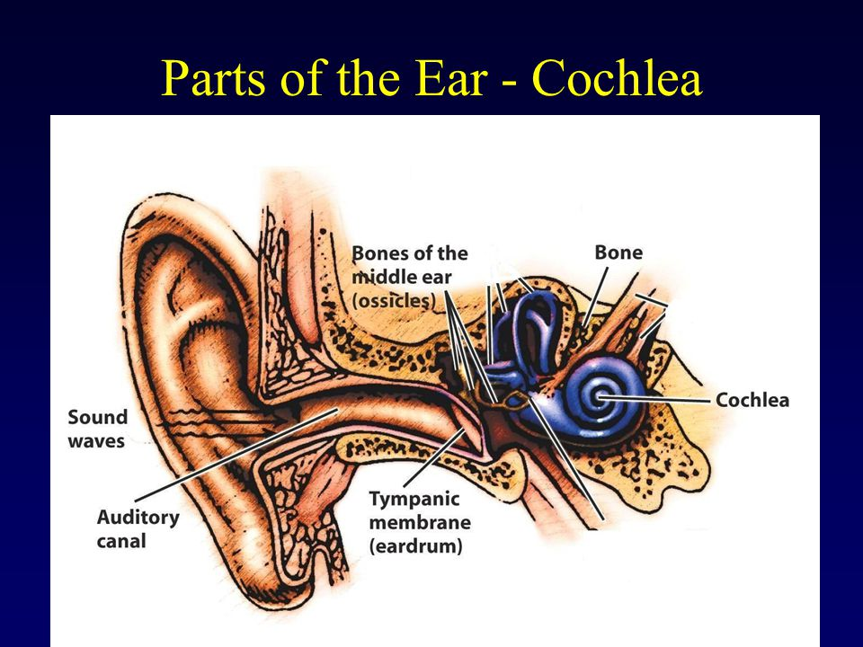 Parts of the Ear - Cochlea
