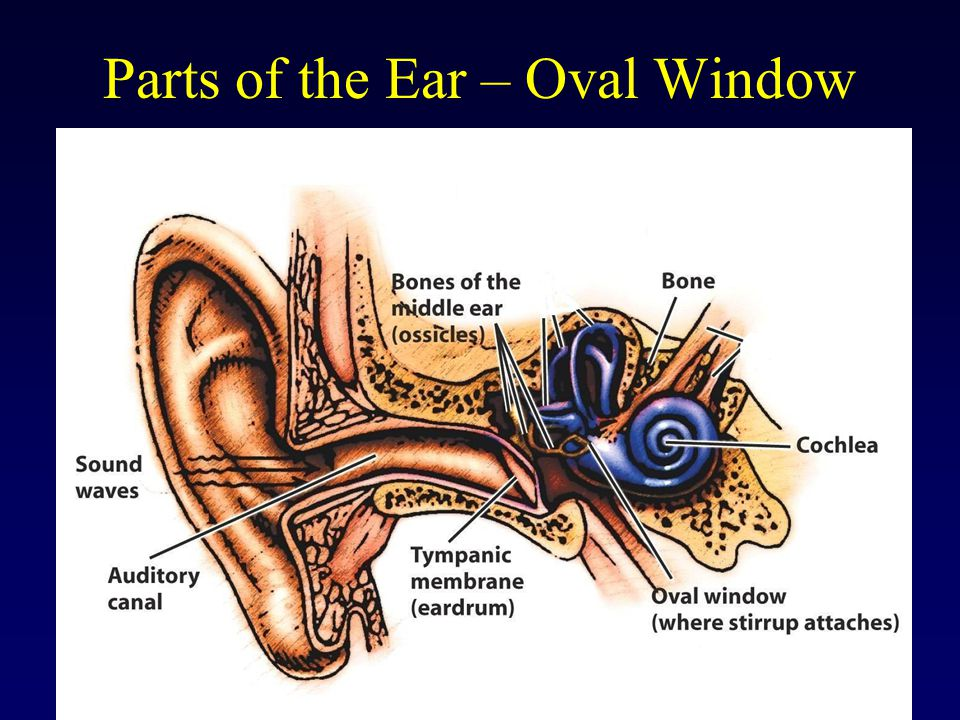 Parts of the Ear – Oval Window